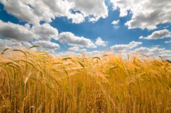 A field of ripe Barley under blue skies